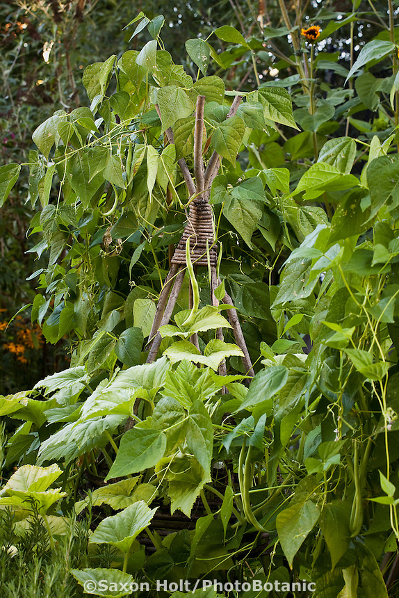 Teepee support trellis for pole beans in backyard organic kitchen garden with vegetables, herbs, and flowers