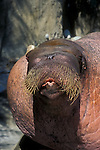 Pacific Walrus ?E.T.? whistling; .Point Defiance Zoo & Aquarium, .Tacoma, Washington.