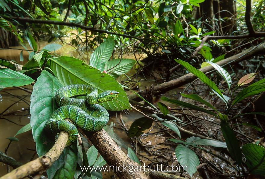 Adult Wagler's Pit Viper (Tropidolaemus wagleri) in stream side vegetation. Kinabatangan River, Sabah, Borneo.