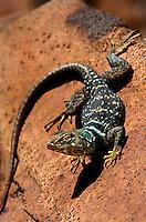441273004 a wild desert collared lizard crotaphytus insularis bicinctores perches on a lava rock near Fossil Falls, California