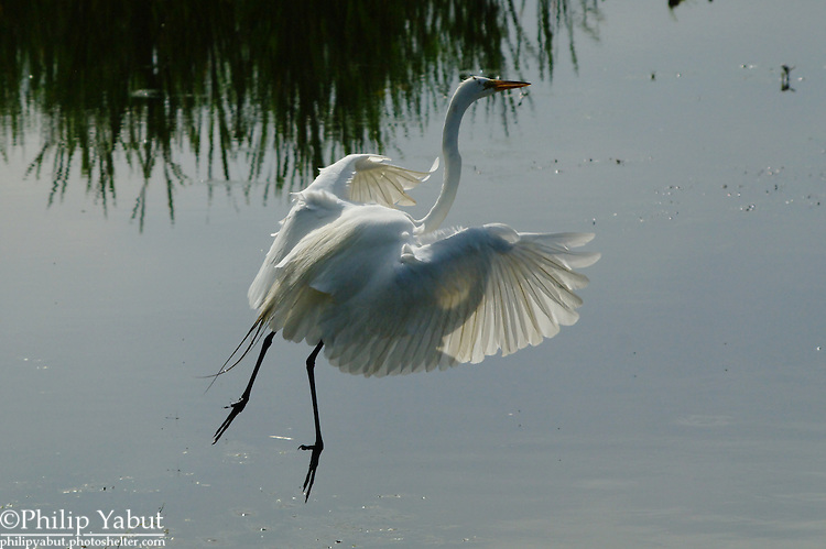 An great egret (Ardea alba)  takes off from the Huntley Meadows swamp.