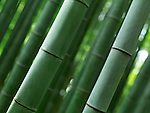Closeup of green bamboo forest stems culms, abstract nature background. Arashiyama, Kyoto, Japan.