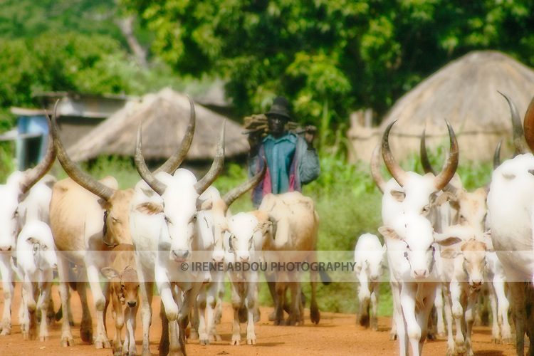 A Dinka pastoralist follows his cattle through the village of Kotobi in Southern Sudan.