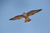 527950042 a wild federally endangered juvenile peregrine falcon falco peregrinus soars over a cliff face along the pacific ocean at torrey pines state preserve la jolla california