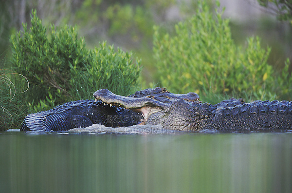 Alligator Bites Myrtle Beach