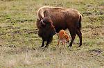 Bison Female and Newborn Calf, Madison Junction, Yellowstone National Park, Wyoming