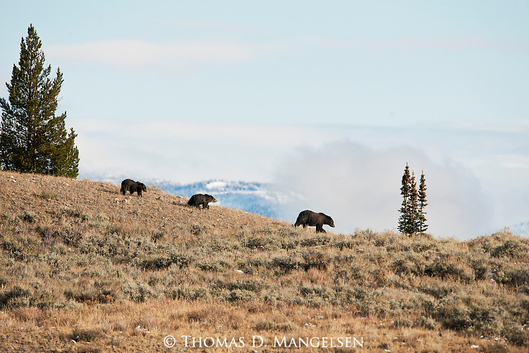 Grizzly 399 crosses a ridge with her cubs in Grand Teton National Park, Wyoming.