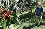 Foto: VidiPhoto<br /> <br /> COTHEN - Kersentelers krijgen het extra lastig dit jaar. Volgens fruitteler Theo Vernooij uit Cothen bij Utrecht zitten er flink meer spreeuwen dan andere jaren. Dat betekent dat spreeuwenjagers bij Vernooij, maar ook bij andere kersenboeren in het land, flink aan de bak moeten. Eind deze week begint de kersenoogst bij Vernooij met een kersenfestival, waarbij bezoekers een kijkje achter de schermen van het kersenbedrijf krijgen. Dinsdag is het de achttienjarige Nino van Delft die bij Vernooij letterlijk als een spin in het web aan de touwtjes trekt. Vanuit een enorme toren trekt hij aan touwen met ratelende bussen aan het eind er van, om zo de spreeuwen te verjagen. Een andere methode is herrie maken met een ouderwetse ratelelaar, waarvoor de nodige spierballen nodig zijn. Nino verdient op deze wijze geld voor zijn studie in St. Petersburg in Rusland, komend seizoen.  Vernooij is met 12 ha. kersen een van de grootste telers van Nederland. Als een van de weinige telers bestaat een groot deel van zijn areaal uit hoogstambomen.