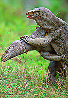 Monitor Lizards fighting, Yala National park.