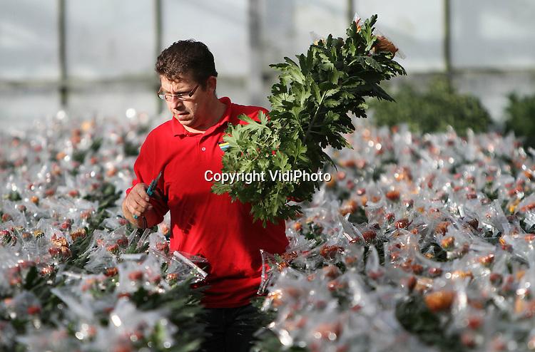 Foto: VidiPhoto..HARMELEN - Ze zijn er nog, maar mondjesmaat: 'gezakte' pluischrysanten. Door de gestegen arbeidskosten zijn nog maar een paar kwekers die pluischrysanten kweken in een plastic zak. Voordeel is dat de grote bloem bij het transport niet beschadigt en bovendien meer opbrengt op de bloemenveiling. Kweker Baldwin Bolk in Harmelen oogst maandag de eerste van 50.000 stengels, die allemaal met de hand van plastic zak zijn voorzien door zijn vrouw. De pluischrysant is vooral populair tijdens Allerzielen op 2 november. Tijdens Allerzielen worden overleden Katholieken herdacht en worden pluischrysanten op hun graven geplaatst. Daarnaast wordt gebeden voor zielen die nog niet in de hemel zijn, maar in het vagevuur. Bolk heeft elf soorten pluischrysanten..