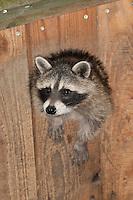 """Waschbär, 3 Monate altes Jungtier, verwaistes, pflegebedürftiges Jungtier wird in menschlicher Obhut großgezogen, schaut aus seiner Höhle heraus, Portrait, Porträt, Tierkind, Tierbaby, Tierbabies, Waschbaer, Wasch-Bär, Procyon lotor, Raccoon, Raton laveur, """"Frodo"""""""