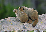 Two hoary marmots snuggle on a rock in Rocky Mountain National Park, Colorado.