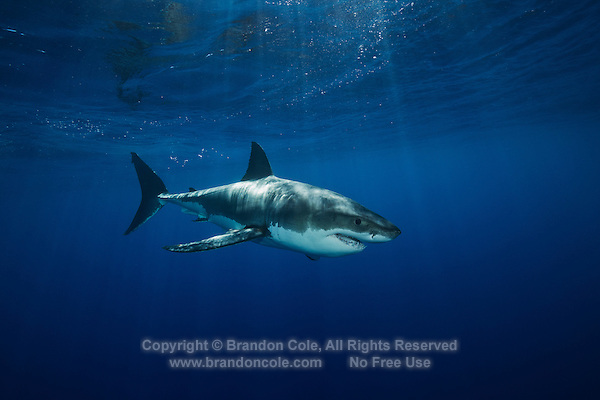 TE1352-D. Great White Shark (Carcharodon carcharias), unquestionably dangerous, but not a bloodthirsty mindless killer. Worldwide temperate and subtropic waters. Guadalupe Island, Baja, Mexico, Pacific Ocean.<br /> Photo Copyright &copy; Brandon Cole. All rights reserved worldwide.  www.brandoncole.com