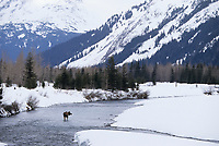 Moose crosses open stream during winter, Portage, Alaska