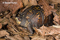 1003-0808  Male Eastern Box Turtle Under Leaves - Terrapene carolina © David Kuhn/Dwight Kuhn Photography.