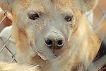 Portrait of a Hyena.
