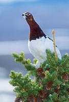 Male Willow Ptarmigan, spring, Denali National Park, Alaska