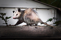 An opossum caught on a neighborhood fence, a touch of urban wildlife.