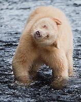 """Kermode """"Spirit"""" Bear shaking off some water"""