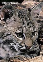 MA26-070z   Bobcat - Felis rufus
