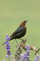 512460010 wild male brown-headed cowbird molothus ater perches on a lichen covered branch among texas wildflowers in the hill country in central texas