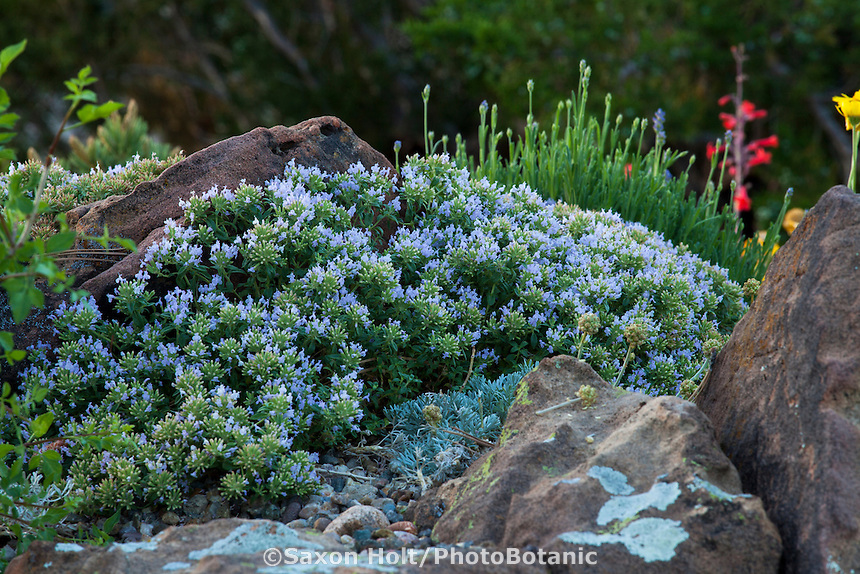 Ziziphora clinopodioides, Blue Mint Bush flowering inDavid Salman New Mexico xeric rock garden