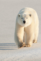 Polar Bear walking along some snow