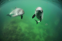 Harbor Porpoises (Phocoena Phocoena) swimming, Fjord &amp; Baelt, Denmark