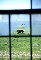 Horses through a broken window Fusillier Saskatchewan Canada North America
