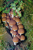Cort Mushrooms (Cortinarius), Marin County, California, USA