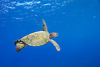 Endangered species, Green Sea Turtle, Chelonia mydas, off Kona Coast, Big Island, Hawaii, Pacific Ocean