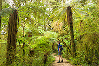 Walking track through moss and lichen covered rainforest in Oparara Valley, Kahurangi National Park, West Coast, Buller Region, New Zealand