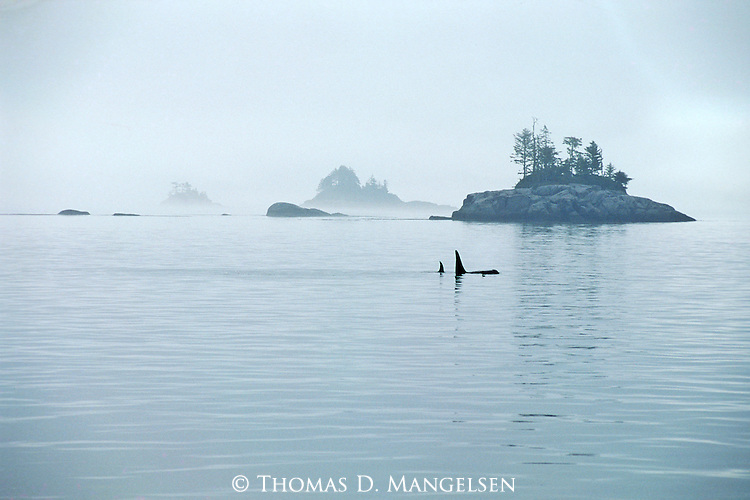 An orca family swims through the Johnstone Strait searching for food in British Columbia, Canada.