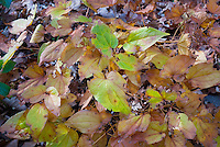 Epimedium x grandiflorum 'Princess Susan' in autumn fall foliage color
