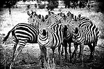 A herd of zebras form a tight group for protection.