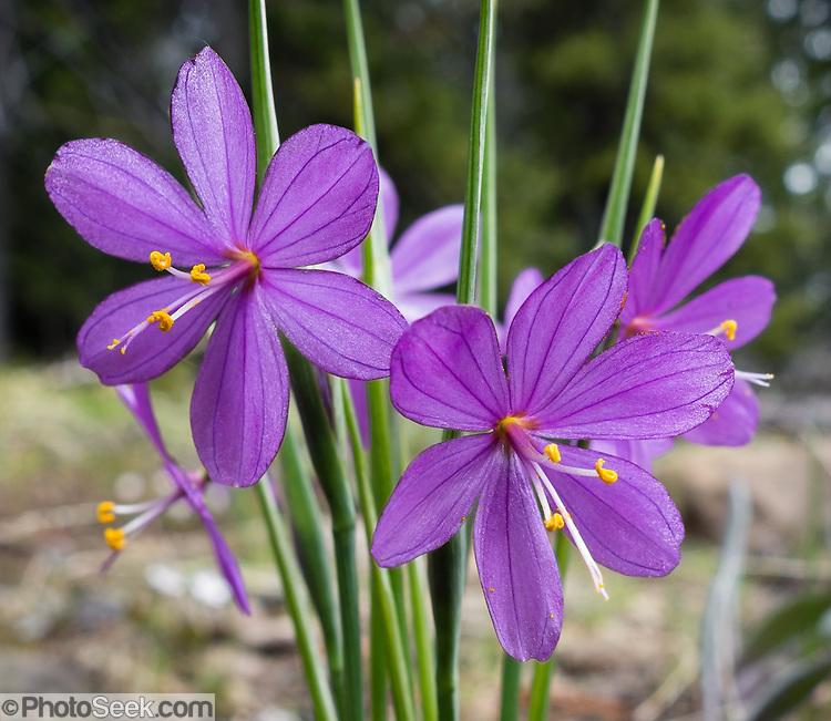 Grasswidow flowers / Olsynium douglasii. Blewett Pass ...