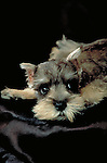 Mini Schnauzer puppy on black satin in the studio<br />