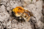 Common carder bumblebee, Bombus pascuorum, UK, on flower in garden, ginger thorax