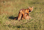 Red fox and kits, Assateague National Wildlife Refuge, Virginia