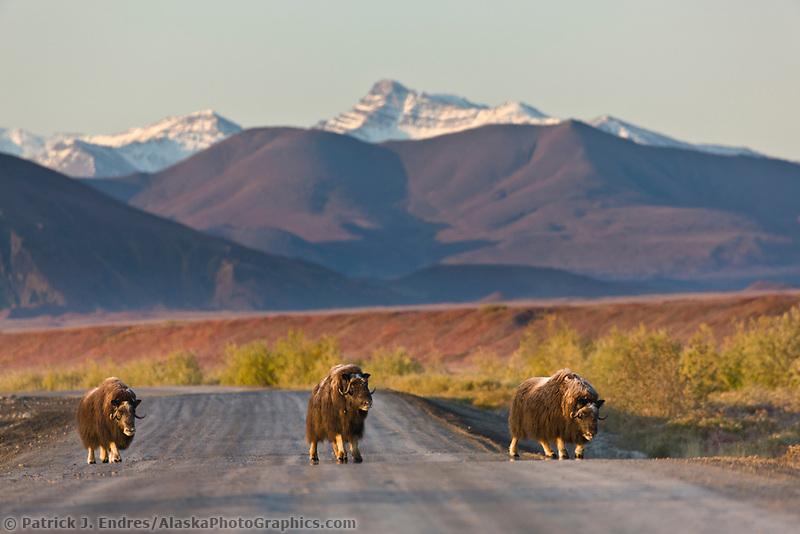 Muskox cross the James Dalton Highway, Brooks range, arctic, Alaska.