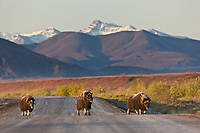 Muskox cross the James Dalton Highway, Brooks range, arctic, Alaska.