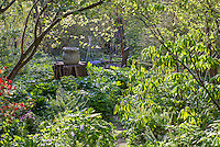 Spring woodland garden with native buckeye tree leafing out )Aesculus parviflora), Boninti Garden, Virginia