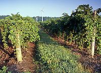 Grape Vines at Sunrise in Niagara Peninsula