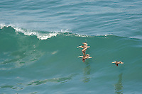 570000009 wild federally endangered brown pelicans pelecanus occidentalis soar over the breaking surf of the pacific ocean at torrey pines state preserve la jolla california
