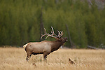 A bull elk bugles during the elk rut, Yellowstone National Park, Wyoming, USA.  Photo by Gus Curtis