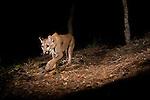 Mountain Lion (Puma concolor) sub-adult female walking at night, Aptos, Monterey Bay, California