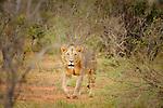 A loan lion roms the landscape  inTsavo  East National Park, Kenya