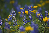 Stock photo of bluebonnets in a field