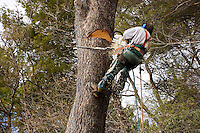 Forestry worker, tree surgeon, at work on large pine tree.