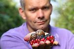 Foto: VidiPhoto<br /> <br /> SLIJK-EWIJK - Fruitteler en bestuurslid van de Nederlandse Fruittelers Organisatie (NFO) Frederik Bunt uit Slijk-Ewijk in de Betuwe, toont woensdag rottend fruit, veroorzaakt door de zogenoemde suzuki-fruitvlieg. Nederlandse fruittelers staan aan de vooravond van een ramp die vele malen groter dreigt te worden dan de boycot door Rusland. Waar de gewone fruitvlieg zich alleen op aangetast fruit stort, legt de suzuki-fruitvlieg juist z'n eitjes in vers (zacht) fruit, waardoor het rottingsproces versnelt. De suzukivlieg is pas in 2012 voor het eerst gesignaleerd in Nederland, maar heeft zich nu al over het hele land verspreid. Omdat minister Kamp van EZ kersen- en pruimentelers weigert een biologisch bestrijdingmiddel te laten gebruiken dat in andere EU-landen wel is toegestaan, dreigt de plaag nu over te slaan naar de gehele fruitsector. De suzuki-fruitvlieg komt via importfruit uit Spanje ons land binnen.